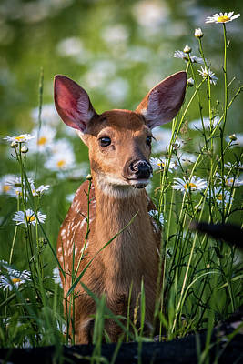 Twin Fawns Photograph - Fawn In Daisies by Paul Freidlund