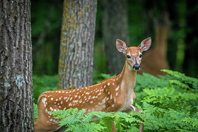 Photograph - Fawn In Ferns by Paul Freidlund