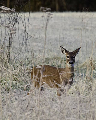 Photograph - Fawn In Frost At Lost Valley by Michael Dougherty