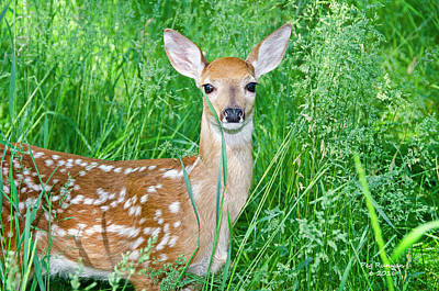 Photograph - Fawn In Tall Grass by Peg Runyan