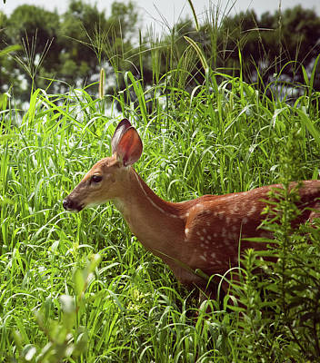 Photograph - Fawn In The Meadow by Virginia Folkman