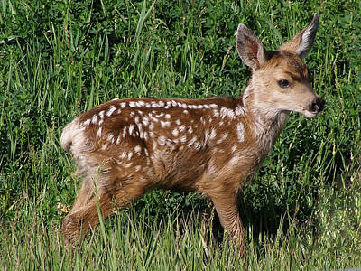 Photograph - Fawn In The Open by DeeLon Merritt