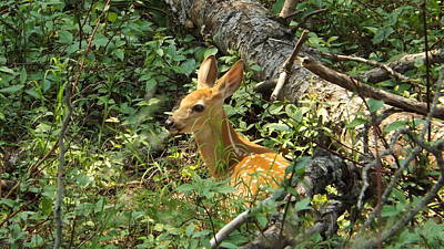 Photograph - Fawn In The Woods 3 by Dennis Pintoski
