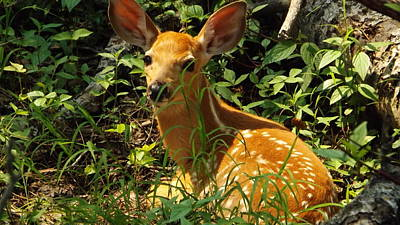 Photograph - Fawn In The Woods by Dennis Pintoski