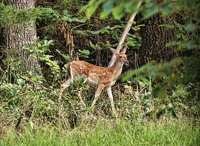 Photograph - Fawn In The Woods by Rick Friedle