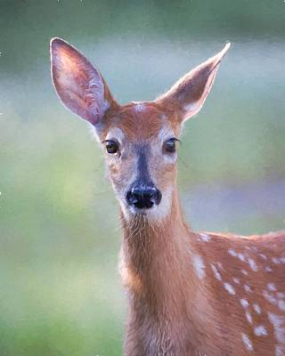 Photograph - Fawn by Jack Bell