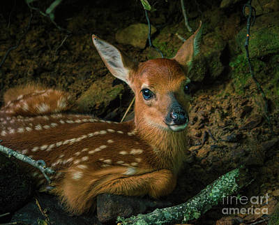 Photograph - Fawn by Lena Auxier