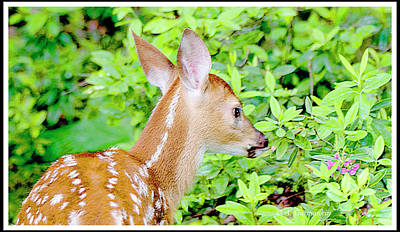 Photograph - Fawn Mesmerized By Mountain Laurel Flowers by A Gurmankin