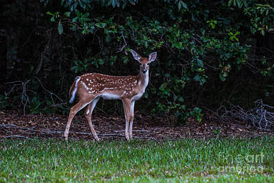 Juvenile Wall Decor Photograph - Fawn Near The Forest by Zina Stromberg