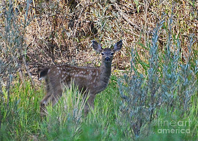 Photograph - Fawn On The Rogue by Ansel Price