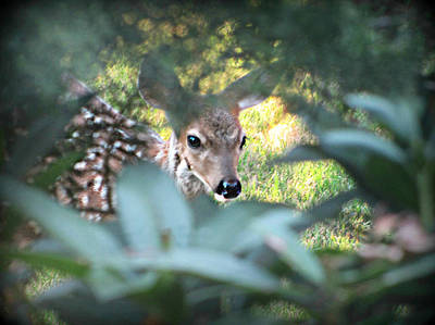 Photograph - Fawn Peeking Through Bushes by Katie Wing Vigil