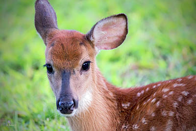 Photograph - Fawn Portrait by Brian Wallace