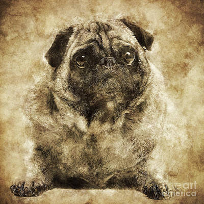 Photograph - Fawn Pug Dog Laying On The Ground In A Retro Shot. by Michal Bednarek