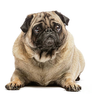 Stare Photograph - Fawn Pug Dog Laying On The Ground by Michal Bednarek