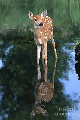 Whitetail Deer Wall Art - Photograph - Fawn Reflection by Sandra Bronstein