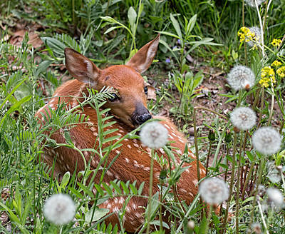 Photograph - Fawn Resting by Barbara McMahon