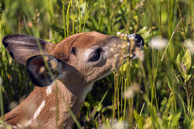 Fawn Smelling The Wildflowers Art Print
