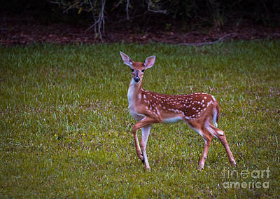 Juvenile Wall Decor Photograph - Fawn by Zina Stromberg
