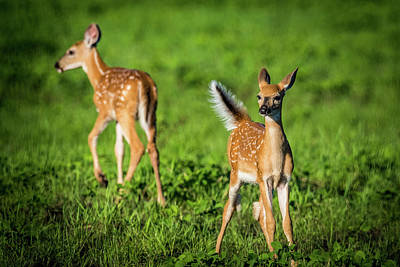 Twin Tailed Photograph - Fawns by Paul Freidlund