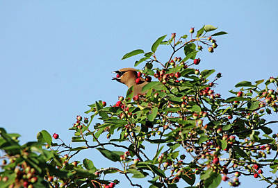 Photograph - Feast Fit For A Waxwing by Debbie Oppermann