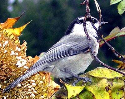 Feast For A Chickadee Art Print by Will Borden