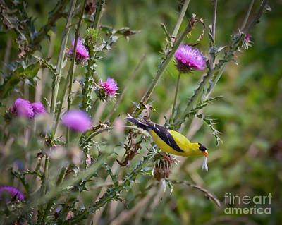 Goldfinch Photograph - Feasting In The Flowers by Kerri Farley