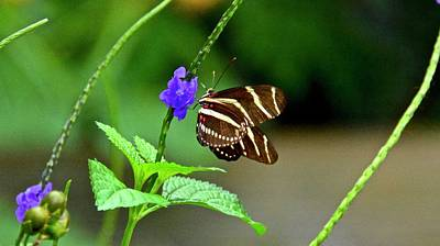 Photograph - Feasting On Blue Porterweed Nectar by Carol Bradley