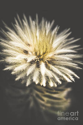 Flannel Photograph - Feather-head Flannel Bush Flower by Jorgo Photography - Wall Art Gallery
