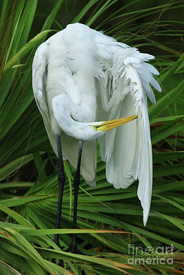Photograph - Feather Preening by Deborah Benoit