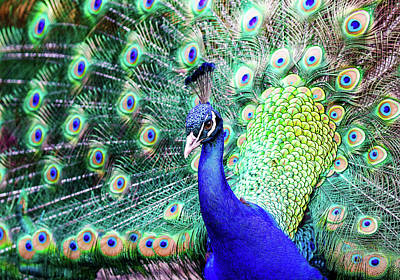 Photograph - Feathered Peacock by Athena Mckinzie