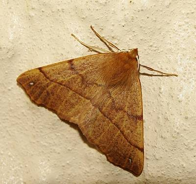 Photograph - Feathered Thorn Moth by Richard Brookes