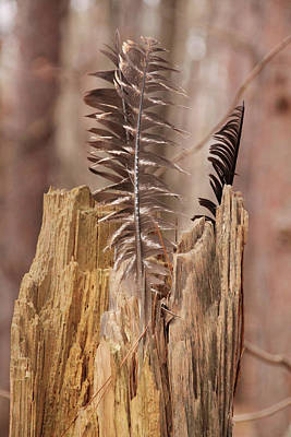 Photograph - Feathers And A Stump. Casey Park, Ontario, Ny by Gerald Salamone