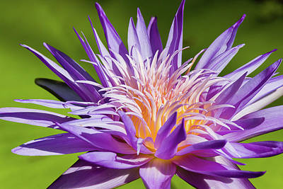 Photograph - Feathery Waterlily by Dawn Currie