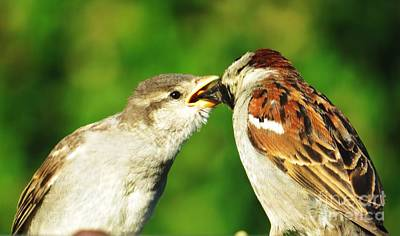 Photograph - Feeding Baby Sparrow 3 by Judy Via-Wolff