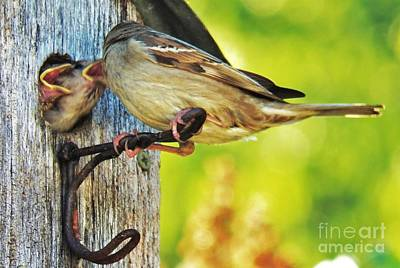 Photograph - Feeding Baby Sparrows 1 by Judy Via-Wolff