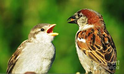 Photograph - Feeding Baby Sparrows 2 by Judy Via-Wolff