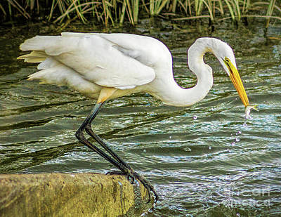 Photograph - Feeding Egret by Nick Zelinsky