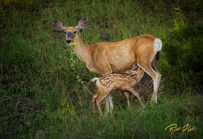 Photograph - Feeding Fawn by Rikk Flohr