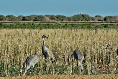 Pyrography - Feeding Greater Sandhill Cranes by Daniel Hebard