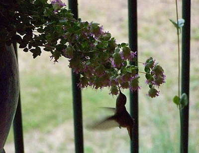 Photograph - Feeding Hummingbird by Jeannie Bushman