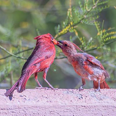 Photograph - Feeding Juvenile Cardinal by Dan McManus
