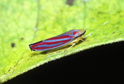 Photograph - Feeding Leafhopper by Bernard Lynch