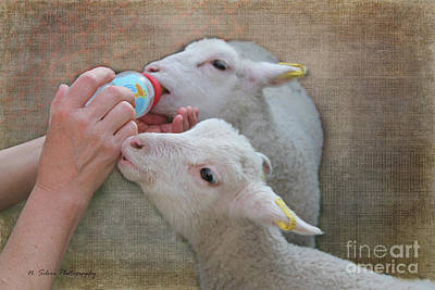 Photograph - Feeding Little Lambs by Nina Silver