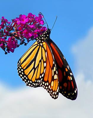 Photograph - Feeding Monarch by Carolyn Derstine