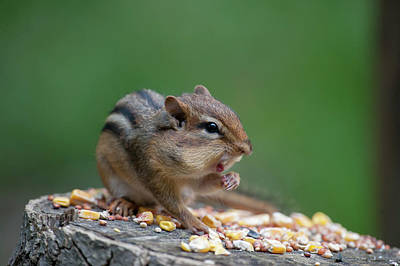 Photograph - Feeding On A Log With Mouth Open by Dan Friend