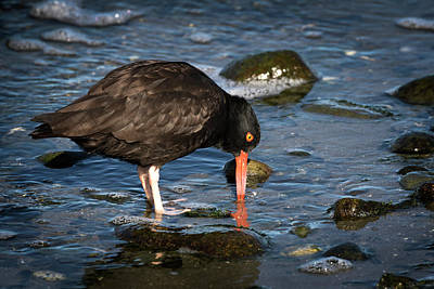Photograph - Feeding Oystercatcher by Inge Riis McDonald