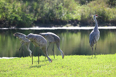 Photograph - Feeding Sandhill Cranes With Lookout by Carol Groenen