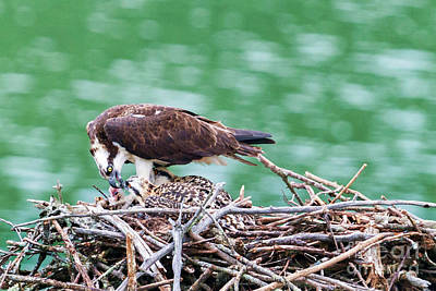 Photograph - Feeding The Little Ones In The Nest by Dan Friend
