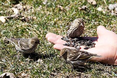 Thawing Time Photograph - Feeding The Pine Siskin 1 Of 4 by Cathy Sullivan