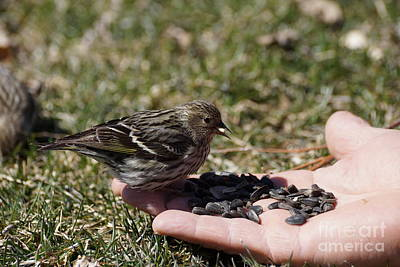 Thawing Time Photograph - Feeding The Pine Siskin 2 Of 4 by Cathy Sullivan